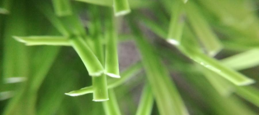 Dòng cỏ Diamond 80